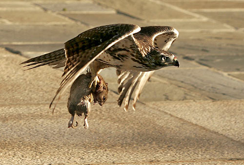 Great Grey Owl Flying 301 Moved Permanently