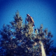 Red Tail Hawk, Perched
