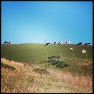 Pt. Reyes National Seashore, Cows Grazing